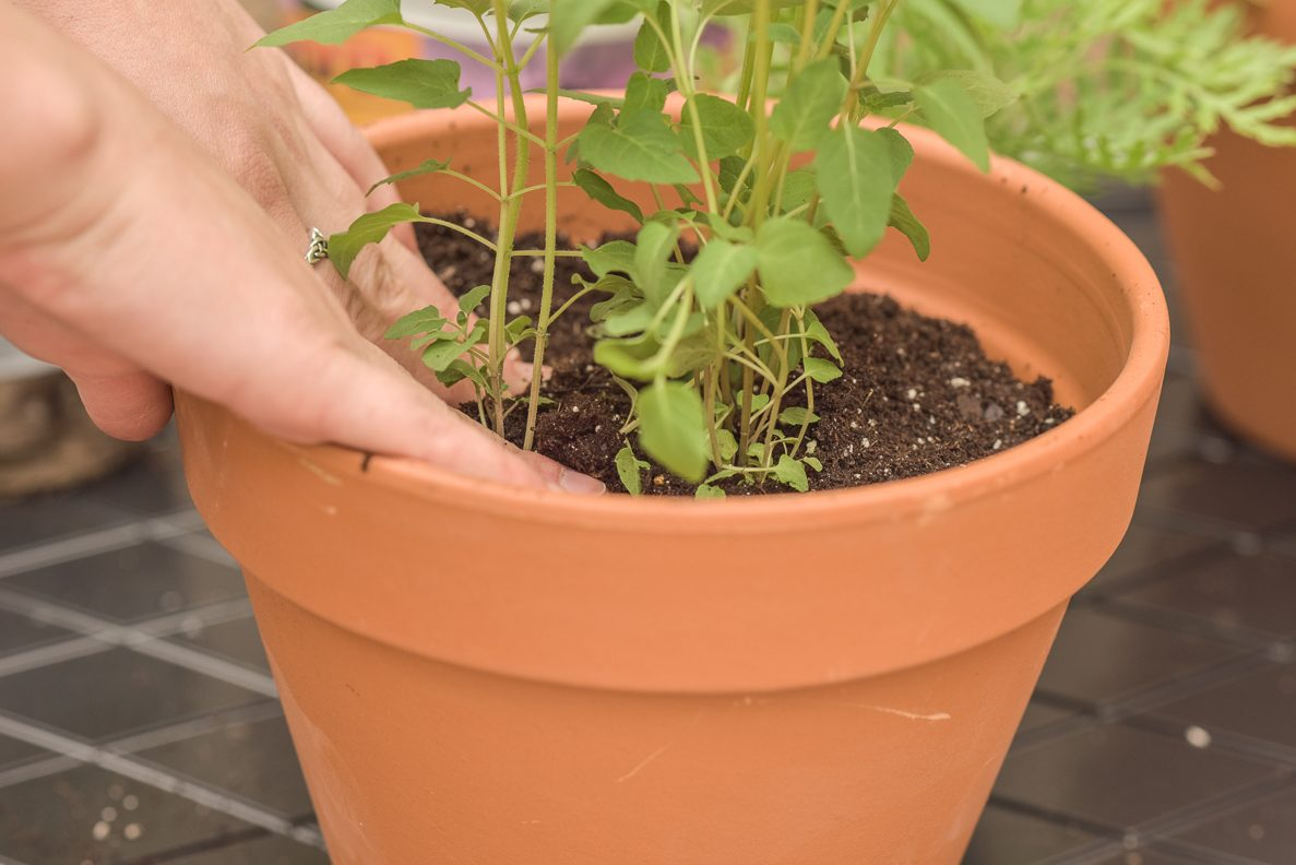 Repotting the plant